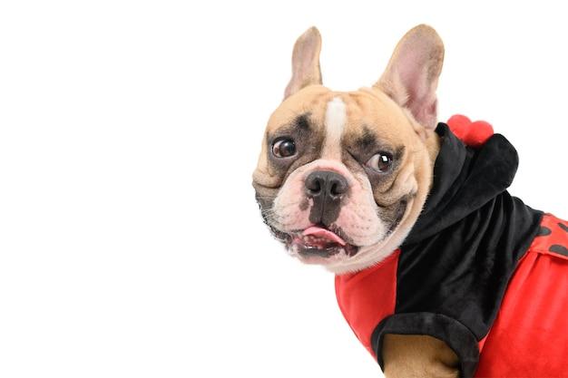 Zijaanzicht van franse bulldog die een leuk en grappig kostuum van het lieveheersbeestje draagt