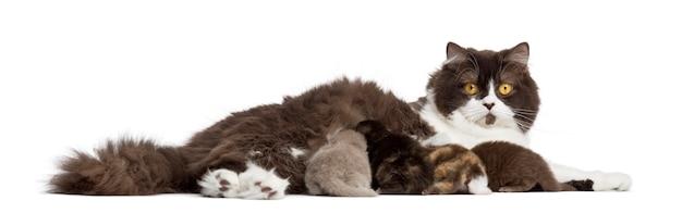 Zijaanzicht van het britse longhair liggen, die zijn katjes voedt, geïsoleerd