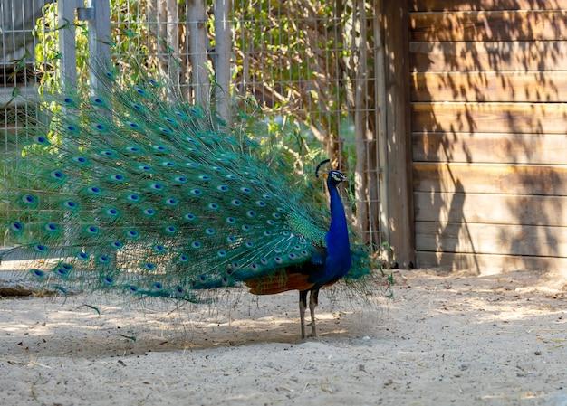 Zijaanzicht van indiase pauw met volledig gewaaierde staart en dansen op de grond. volwassen mannelijke vogel (pavo cristatus) die in de tuin staat met een lange en open staart. blauwe pauw die dichtbij houten huis loopt. detailopname