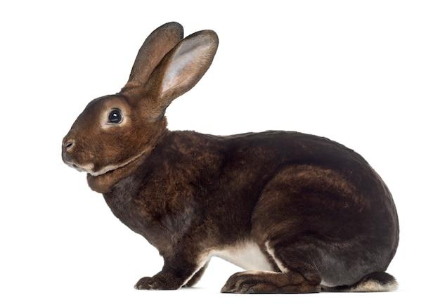 Zijaanzicht van konijn rex op wit wordt geïsoleerd dat