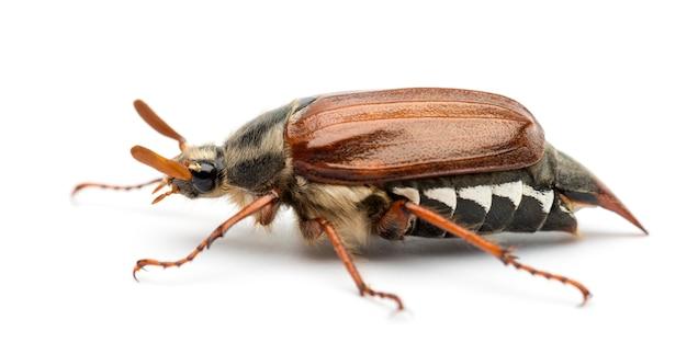 Zijaanzicht van mannelijke cockchafer, melolontha melolontha, ook bekend als may bug, mitchamador, billy witch of spang kever tegen witte ondergrond