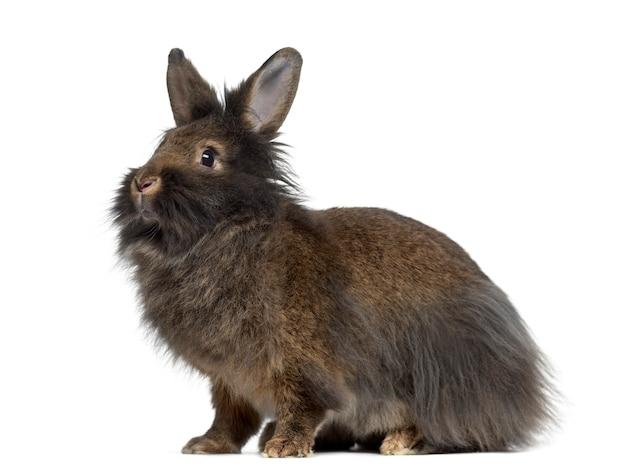 Zijaanzicht van mini snoeit konijn dat op wit wordt geïsoleerd