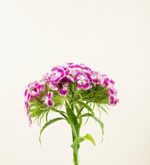 Zijaanzicht van purpere kleuren zoete william of turkse anjerbloem die op witte achtergrond wordt geïsoleerd