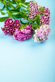 Zijaanzicht van purpere kleuren zoete william of turkse anjerbloemen die op blauwe achtergrond met exemplaarruimte wordt geïsoleerd