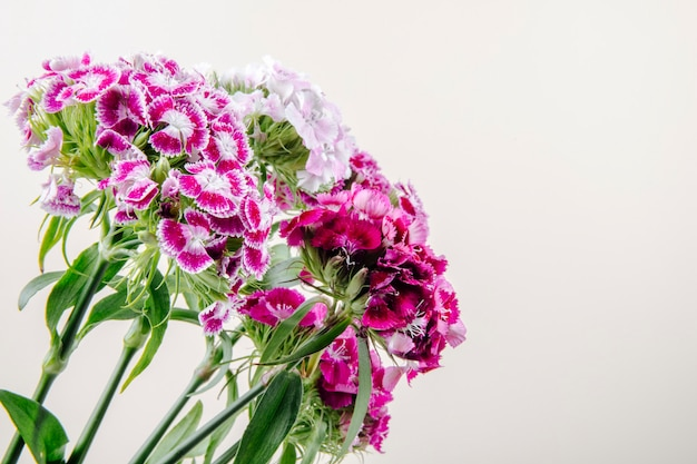 Zijaanzicht van purpere kleuren zoete william of turkse anjerbloemen die op witte achtergrond met exemplaarruimte wordt geïsoleerd