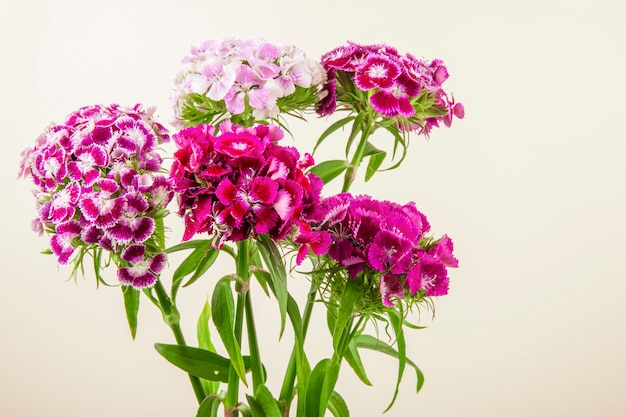 Zijaanzicht van purpere kleuren zoete william of turkse anjerbloemen die op witte achtergrond wordt geïsoleerd