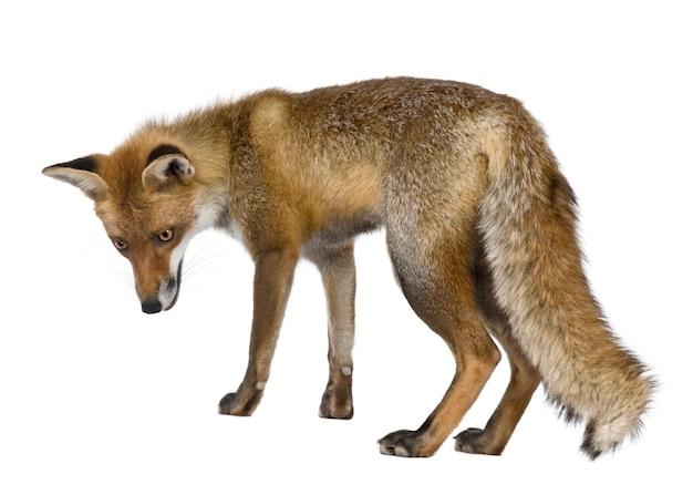 Zijaanzicht van red fox, permanent