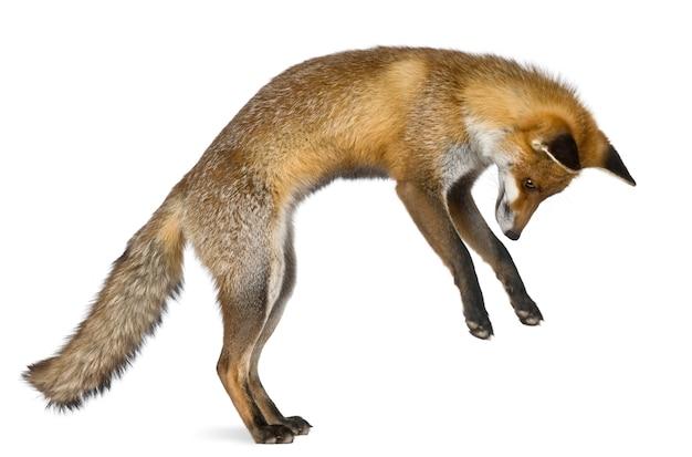 Zijaanzicht van red fox, staande op achterpoten
