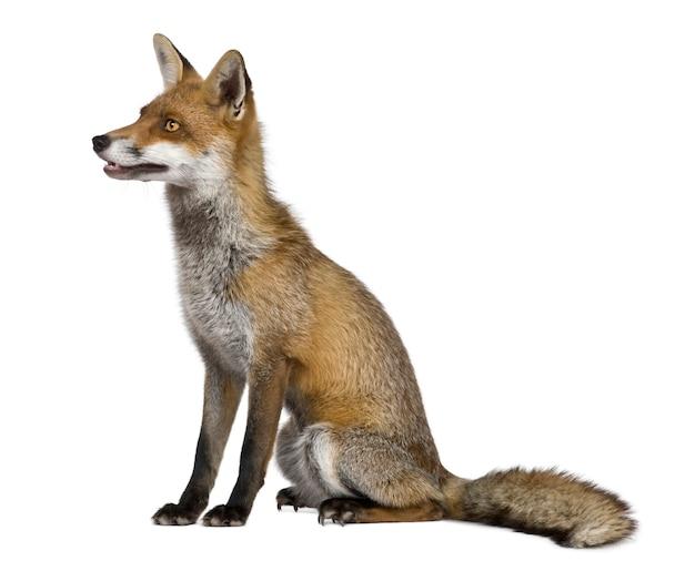 Zijaanzicht van red fox, zittend