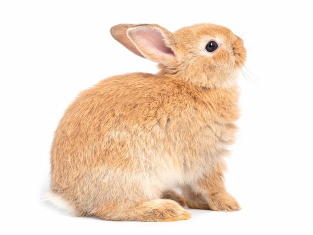 Zijaanzicht van roodbruine leuke konijnzitting en het gezicht omhoog geïsoleerd op witte achtergrond.