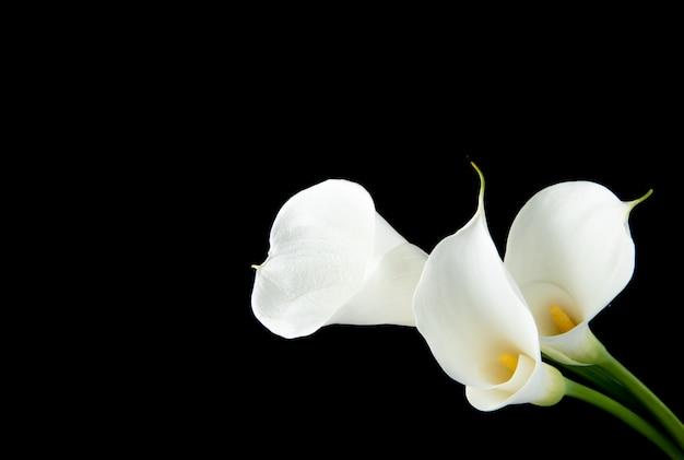 Zijaanzicht van witte calla lelies dat op zwarte achtergrond met exemplaarruimte wordt geïsoleerd