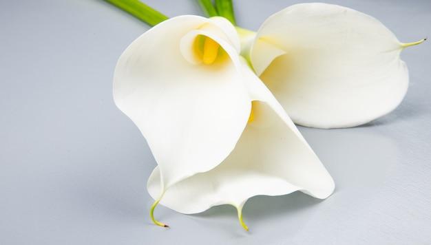 Zijaanzicht van witte kleurencalla lelies die op witte achtergrond worden geïsoleerd