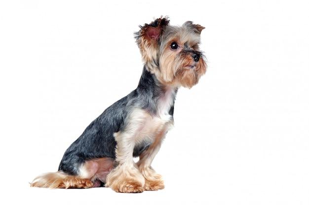 Zijaanzichtbeeld van een zittings yorkie hond die aan het exemplaar ruimtegebied kijkt