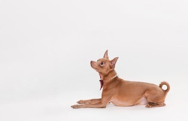 Zijdelings schattige kleine hond