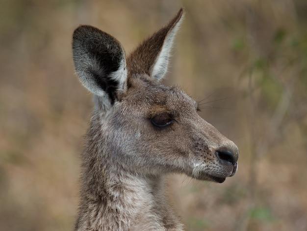 Zijprofiel van een oostelijke grijze kangoeroe omgeven door groen