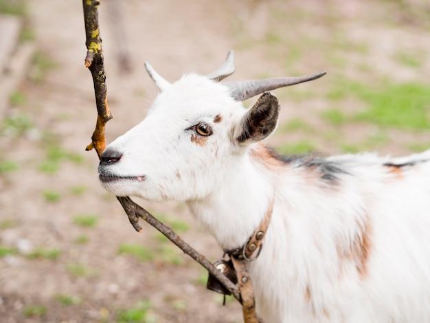 Zijwaarts witte geit buitenshuis