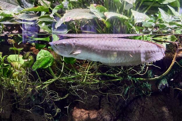 Zilver arowana of osteoglossum bircurrhosum is zoetwatervis in aquarium