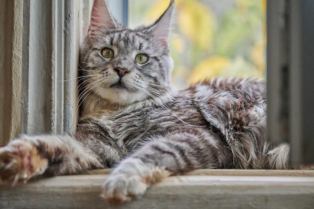 Zilver wit marmeren maine coon kat op vensterbank. grappige volwassen maine coon rasechte kat.
