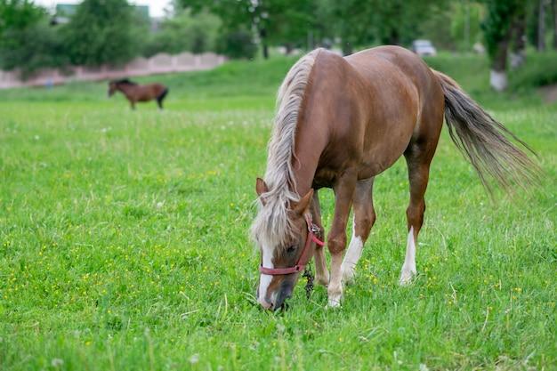 Zilverachtig baaipaard in een veld op een paddock. hoge kwaliteit foto