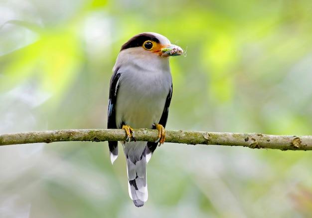Zilverborst broadbill serilophus lunatus mooie mannelijke vogels van thailand