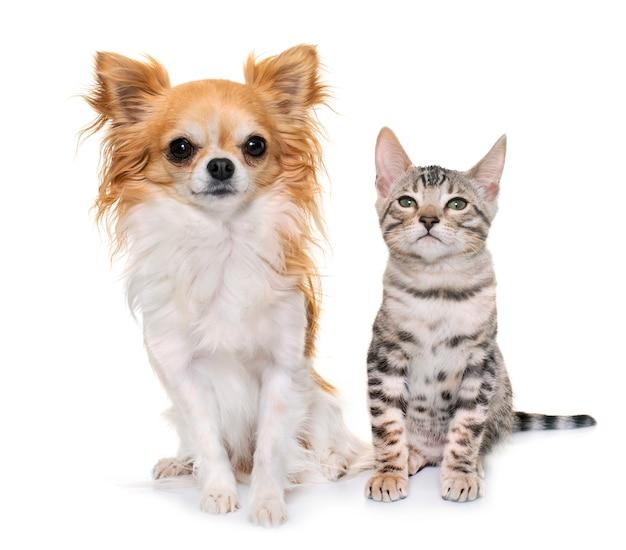 Zilveren bengaalse kitten en chihuahua