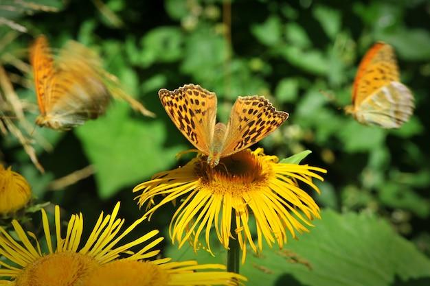 Zilveren parelvlinder (paphia argynnis) op de gele bloem. macro, ondiepe scherptediepte