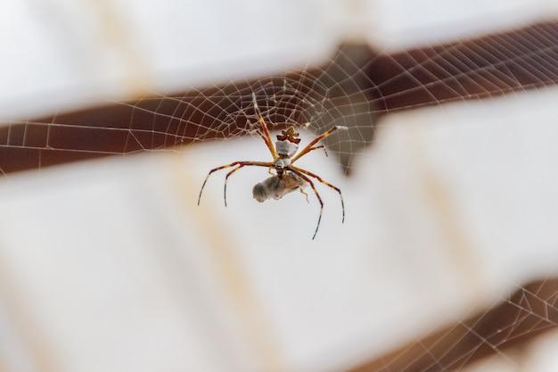 Zilveren spin die zich voedt met een insect