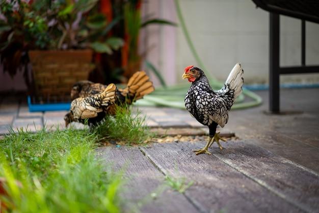 Zilverwit sebright-kuiken dat op de houten cementvloer in de tuin van het achtertuinhuis in middagtijd loopt met 2 sebright-kippen op de achtergrond.