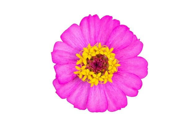Zinnia bloem close-up geïsoleerd op een witte achtergrond