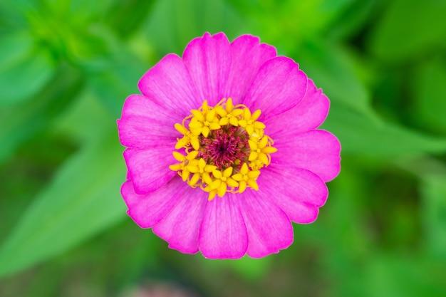 Zinnia bloem close-up