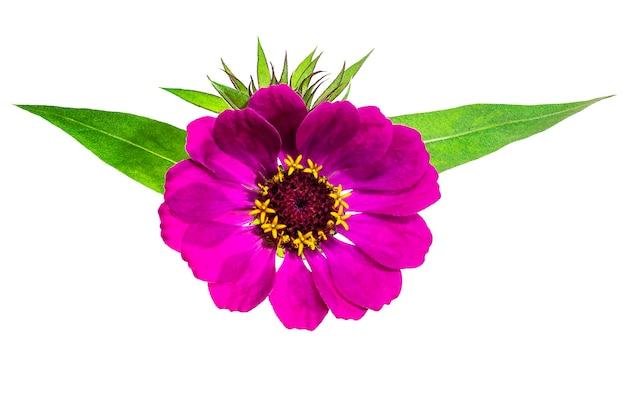 Zinnia bloem herfst bloemen geïsoleerde achtergrond close-up highresolution macrofotografie