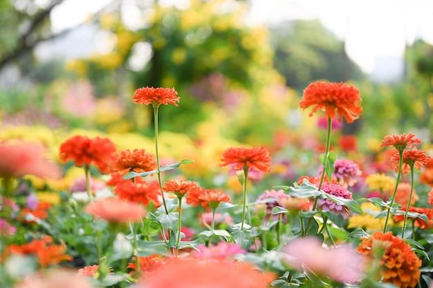 Zinnia-bloem of zinnia violacea planten van de zonnebloemstam binnen de madeliefjesfamilie.