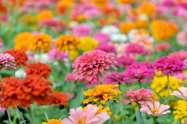 Zinnia-bloemen in de tuin zijn een populaire bloem.