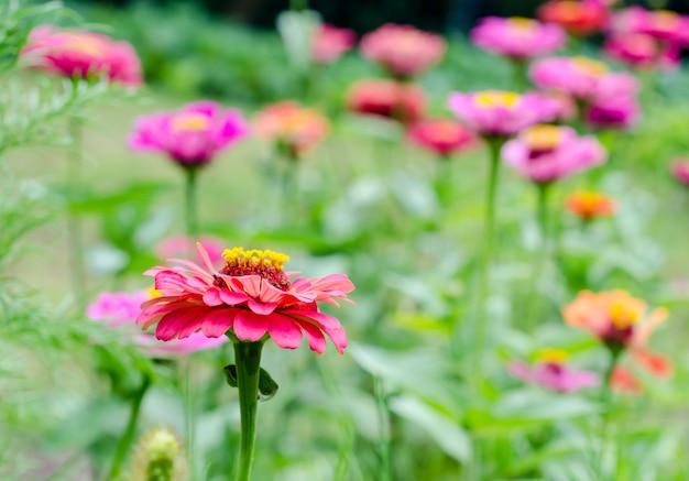 Zinnia bloemen in de tuin
