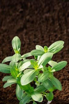 Zinnia kweken uit zaad in de tuin en in de kas. jonge scheuten van zinnia.