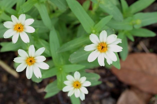 Zinnia-wit (zinnia angustifolia kunth) in de tuin.