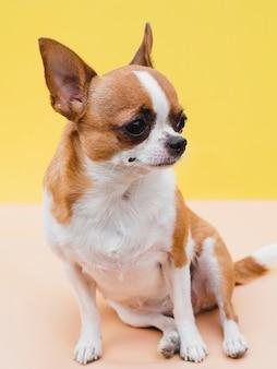 Zittend chihuahua hond en gele achtergrond