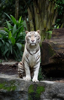 Zittend witte bengaalse tijger