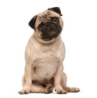 Zittende beige pug hond die de camera bekijkt die op wit wordt geïsoleerd