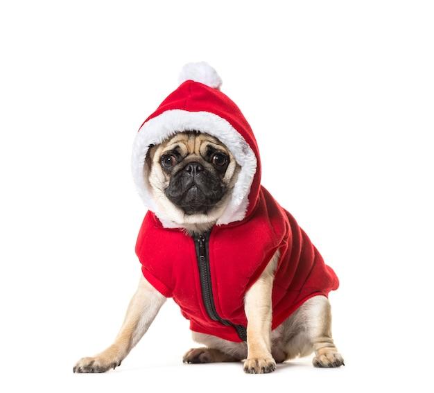Zittende beige pug hond die een hoed draagt die de camera bekijkt die op wit wordt geïsoleerd