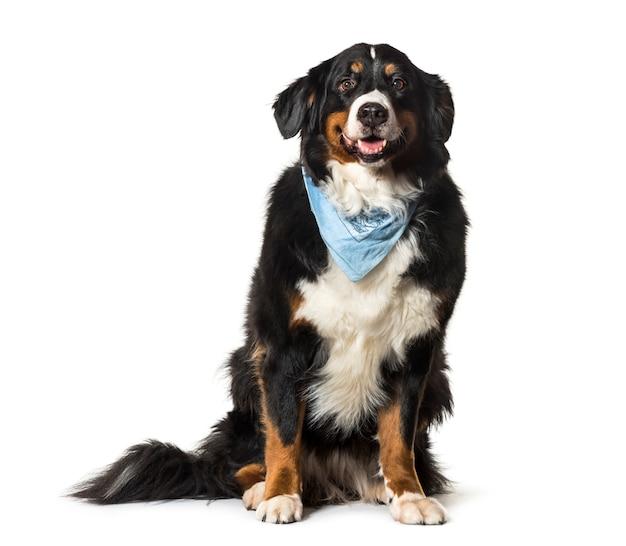 Zittende berner sennenhond hijgend met een blauwe sjaal op