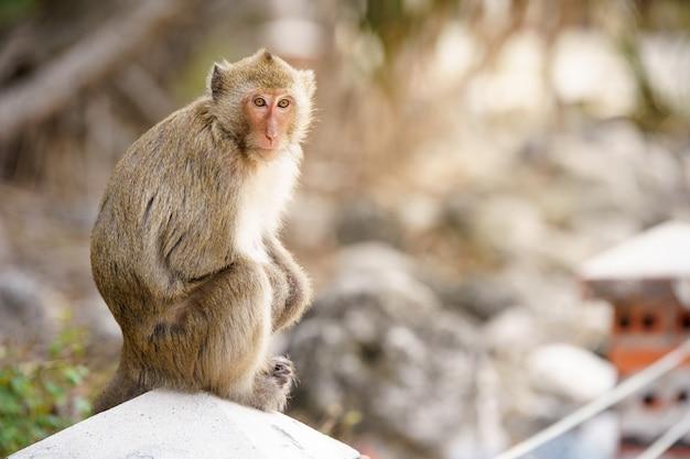 Zittende bruine aap