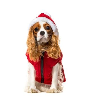 Zittende cavalier king charles spaniel hond in een rode hondenjas