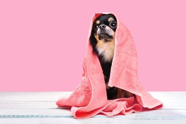 Zittende chihuahua in een handdoek na het baden