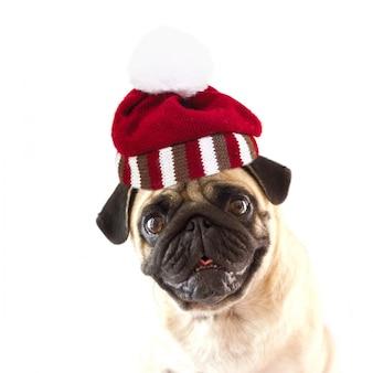 Zittende hond pug met grote ogen geïsoleerd met gebreide gestreepte hoed met pompon