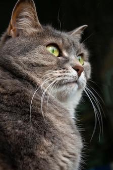 Zittende kat. de grijs uitziende mooie kortharige kat.