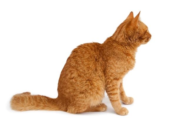 Zittende rode kat geïsoleerd op een witte achtergrond