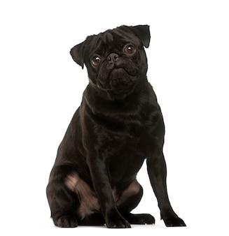 Zittende zwarte pug hond die de camera bekijkt die op wit wordt geïsoleerd