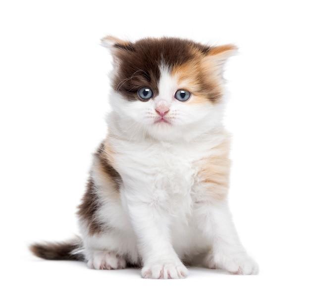 Zitting van het hoogland de rechte katje die op wit wordt geïsoleerd