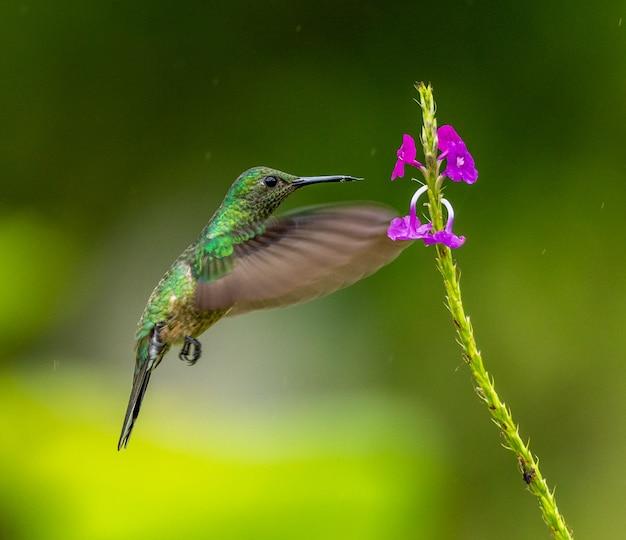 Zoemende vogel tijdens de vlucht dichtbij de bloem